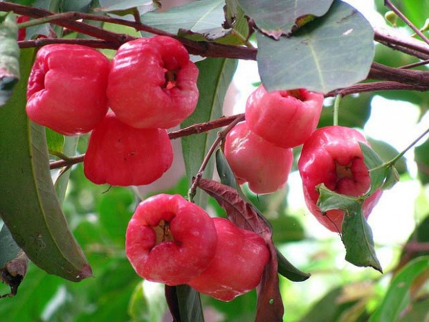 سیب گلی (Rose Apple)